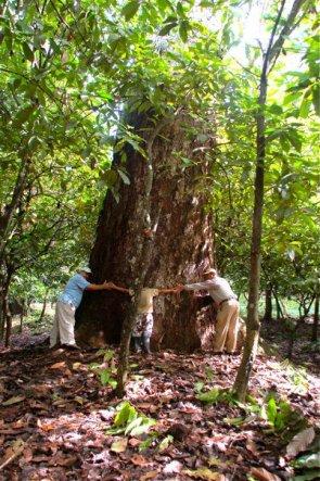 Algarrobillo gigante - Reserva Natural los Tananeos