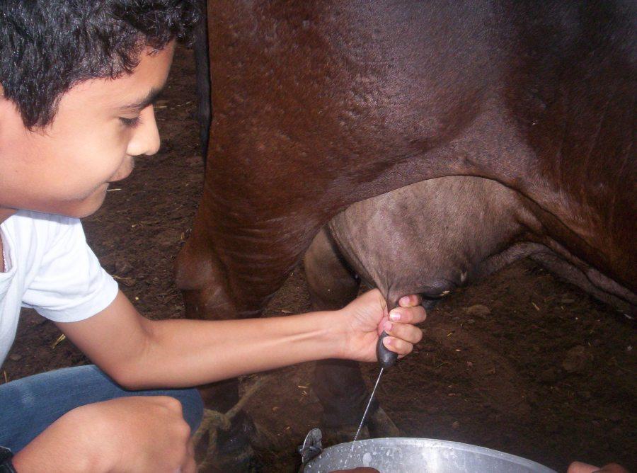 Niño aprendiendo a ordeñar en el Instituto Ecojugando