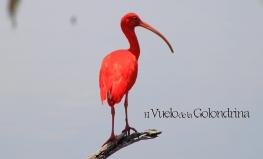 Garza Corocora, con su rojizo plumaje.
