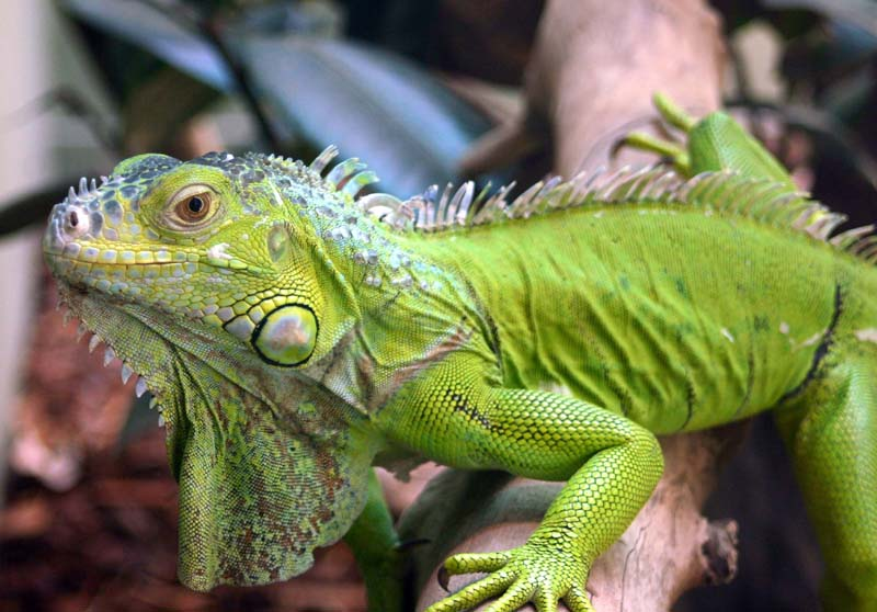 Primer plano de una iguana