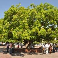 Los árboles de Valledupar