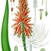 Sábila - Aloe_succotrina_-_Köhler–s_Medizinal-Pflanzen