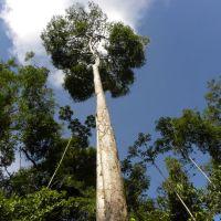 El árbol de tananeo o nazareno (Peltogyne purpurea)