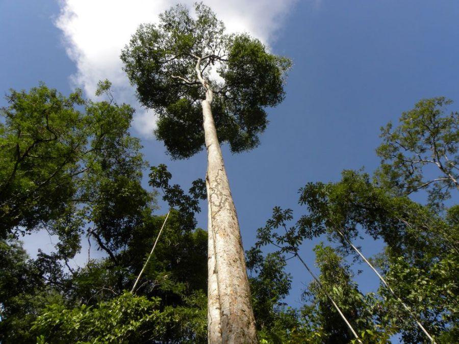 Árbol de tananeo. Foto: Reserva Natural Los Tananeos.