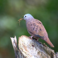 Tierrelita o tortolita (Columbina talpacoti) Ruddy Ground-Dove