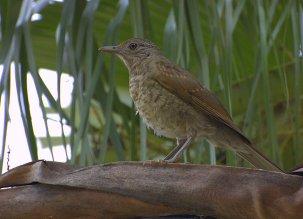 Ejemplar juvenil. Foto: Wikipedia.Org
