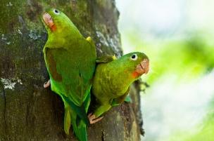 Foto: Brotogeris jugularis - Alejandro Cock-Peláez (Flickr).