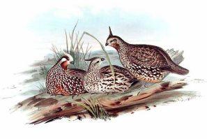 Perdiz común, chilindra o codorniz crestada (Colinus ... John Gould Md Delaware