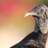 Buitre negro, golero o gallinazo (Coragyps atratus) Black Vulture