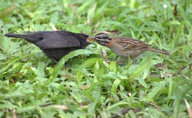 Ejemplar juvenil parasitando en Zonotrichia capansis - Foto: Dario Sanches (Flickr)
