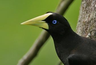 Oropéndola crestada (Psarocoleus decumanus). Foto: Steve Garvie (Flickr)