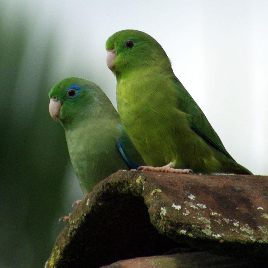 Ejemplares macho y hembra - Foto: Rogier Klappe (Flickr).