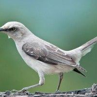 Sinsonte tropical o paraulata llanera (Mimus gilvus) Tropical Mockingbird