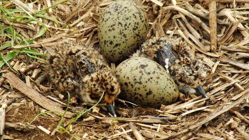 Nido y polluelos. Foto: Wikipedia.