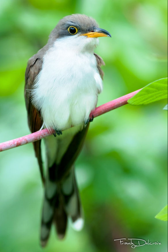 Cuclillo piquigualdo (Coccyzus americanus) (1/5)