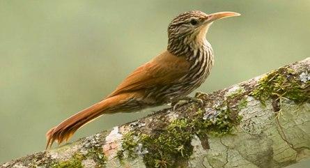 Foto: Dusan Brinkhuisen (Cornell Lab of Ornithology).