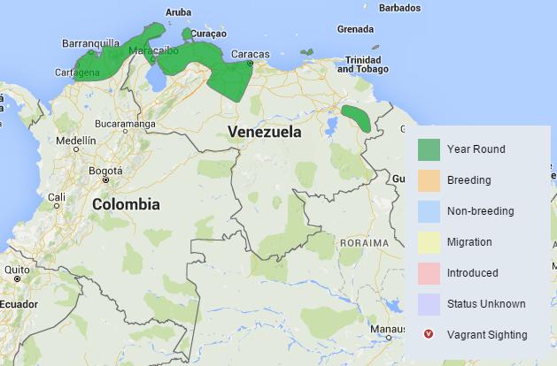 Atrapamoscas venezolano (Myiarchus venezuelensis) (5/6)