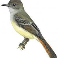 Atrapamoscas venezolano (Myiarchus venezuelensis) Venezuelan Flycatcher