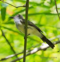 Foto: Luis Figueroa (Internet Bird Collection).