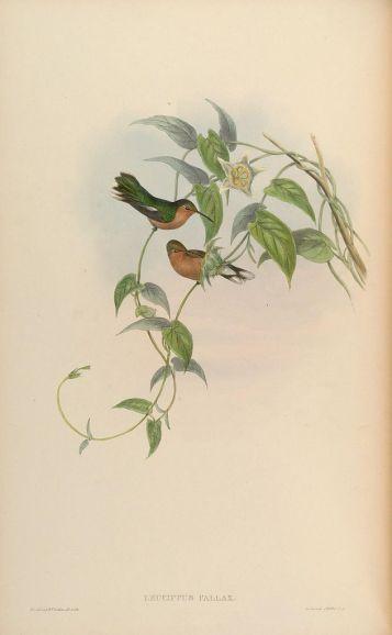 Ilustración: John Gould (1861).