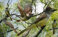 Foto: Crossley Guide of Eastern Birds