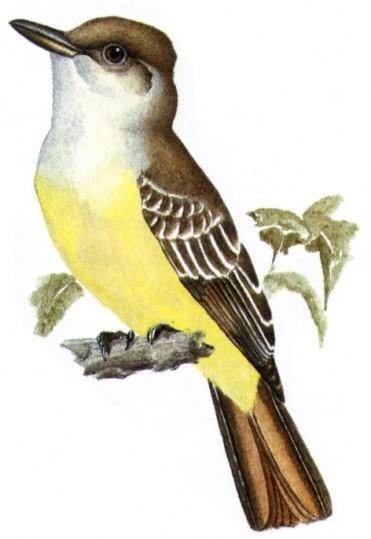 Guillermo Harris (ilustración). Guía de aves de Argentina.