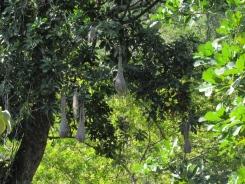 Psarocoleus decumanus (nido) - Foto: Jose Luis Ropero