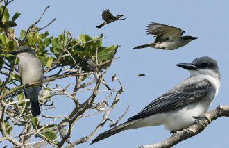 Foto: Richard Crossley (Crossley Guide of Eastern Birds)