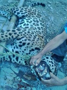 Jaguar cazado en el corregimiento de Aguasblancas, zona rural de Valledupar. Foto: compartida vía WhatsApp.