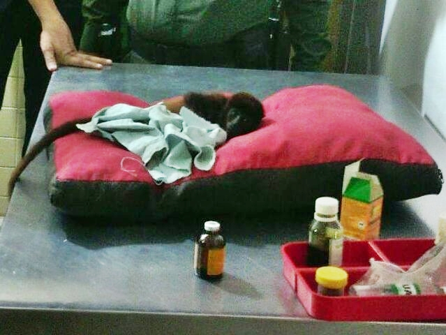 Cría de mono aullador en sala de urgencias. Foto: cortesía FF. MM.