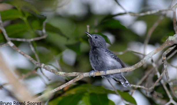 """Subespecie """"luctuosa"""". Foto: Bruno Rennó Soares (Wikiaves)."""