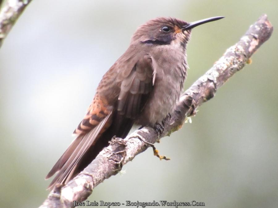 Colibrí pardo (Colibri delphinae) - Foto: Jose Luis Ropero (Ecojugando).