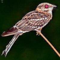 Chotacabras coliblanco (Hydropsalis cayennensis) White-tailed Nightjar