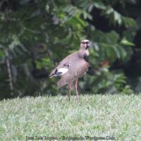Tanga o avefría teru (Vanellus chilensis) Southern Lapwing