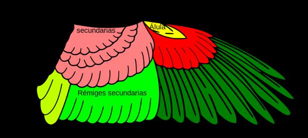 Anatomía alar (clic para ampliar).