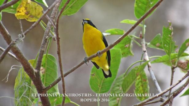 Euphonia laniirostris. Foto: Jose Luis Ropero (Proyecto Ecojugando).