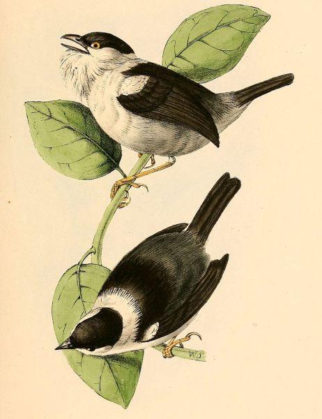 Ilustración de William Swainson (1841).