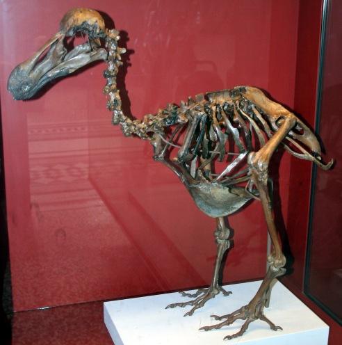 Esqueleto del dronte o dodo (Raphus cucullatus). Museo de Historia Natural de Londres.