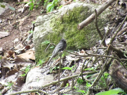 Black Phoebe (Sayornis nigricans), observado en Villa Adelaida.