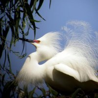 Garcita nívea (Egretta thula) Snowy Egret