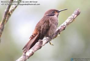 Chillón pardo (Colibri delphinae). Foto: Jose Luis Ropero.