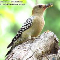 Carpintero habado (Melanerpes rubricapillus) Red-crowned Woodpecker