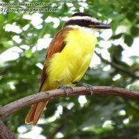 Aves comunes de Valledupar y Colombia, parte I