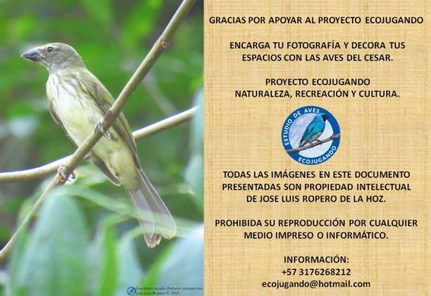 Guayabero rayado (Saltator striatipectus). Foto: Jose Luis Ropero.