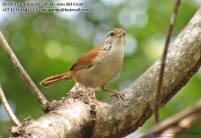 Cucarachero cantor (Thryophilus rufalbus). Foto: Jose Luis Ropero.