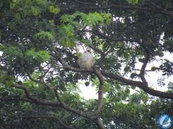 Elanio perlado (Gampsonyx swainsonii).