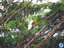 Turpial amarillo (Icterus nigrogularis).