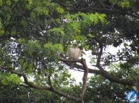 Elanio perlado (Gampsonyx swainsonii/Pearl Kite).