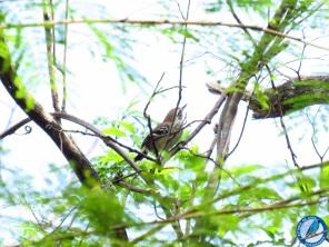 Hormiguerito pechinegro (Formicivora grisea/White-fringed Antwren). Hembra.