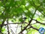 Hormiguerito pechinegro (Formicivora grisea/White-fringed Antwren).